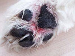 zampa del cane che sanguina