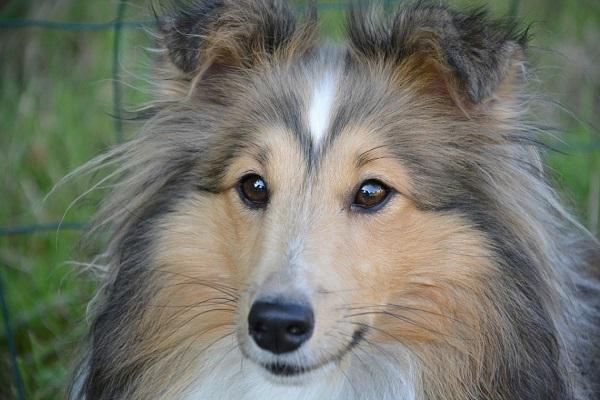 cane collie, lassie