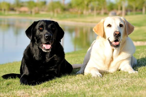 cani labrador, miele e nero