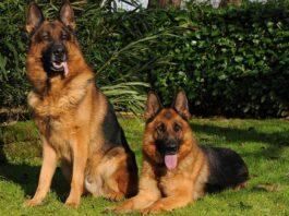 cani pastori tedeschi