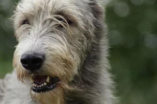levriero irlandese cane