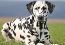 cane dalmata