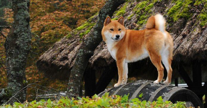 Shiba inu cane