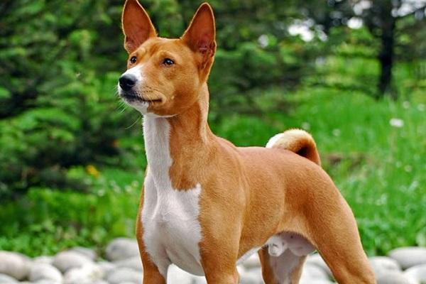 5 razze di cani che sono adatte alle persone schive: le migliori