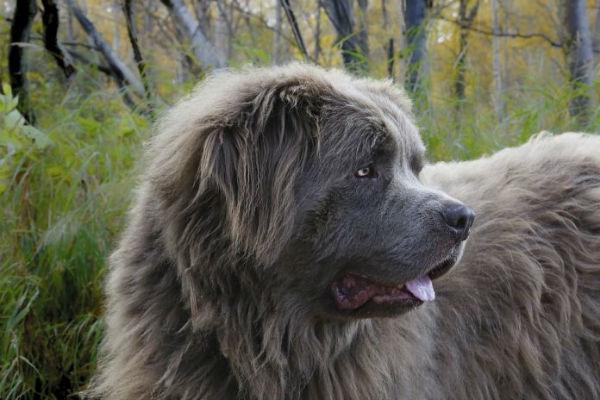 5 razze di cani che hanno più paura (e tendono a scappare)