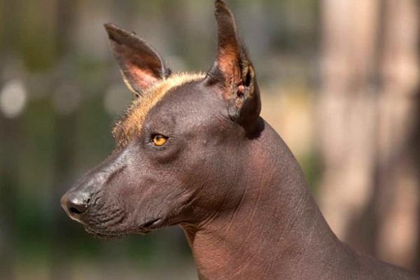 cane nudo messicano