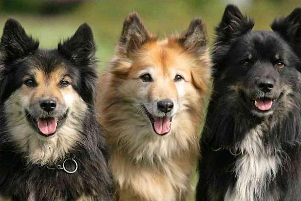 5 razze di cani che puntano sulla bellezza: le più straordinarie