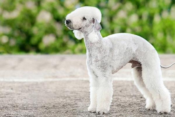 bedlington terrier cane