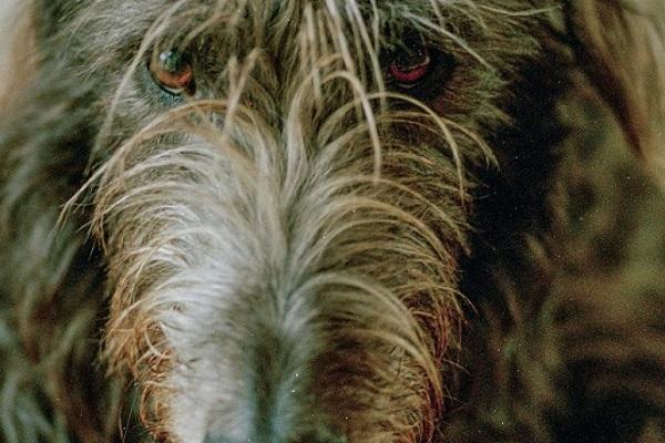 Deerhound scozzese cane