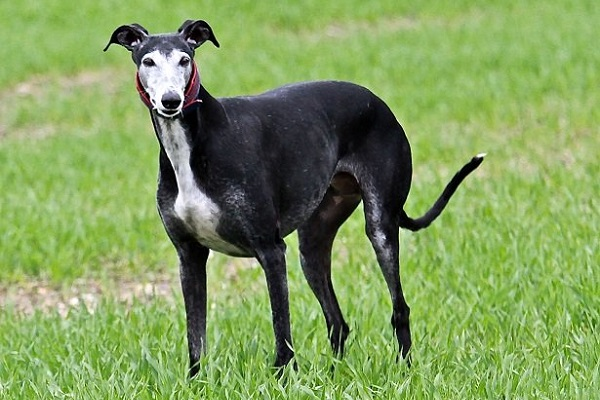 levriero spagnolo cane