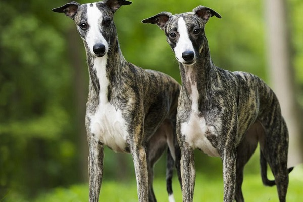 cane whippet