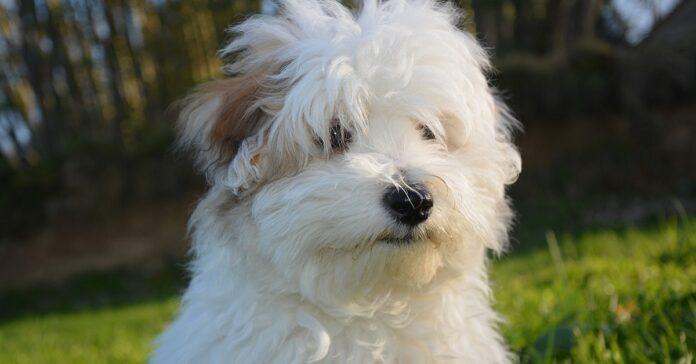 cane Coton de Tulear bianco