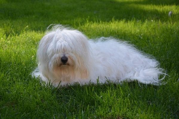 Coton de Tulear cane bianco