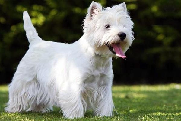 West highland white terrier cane
