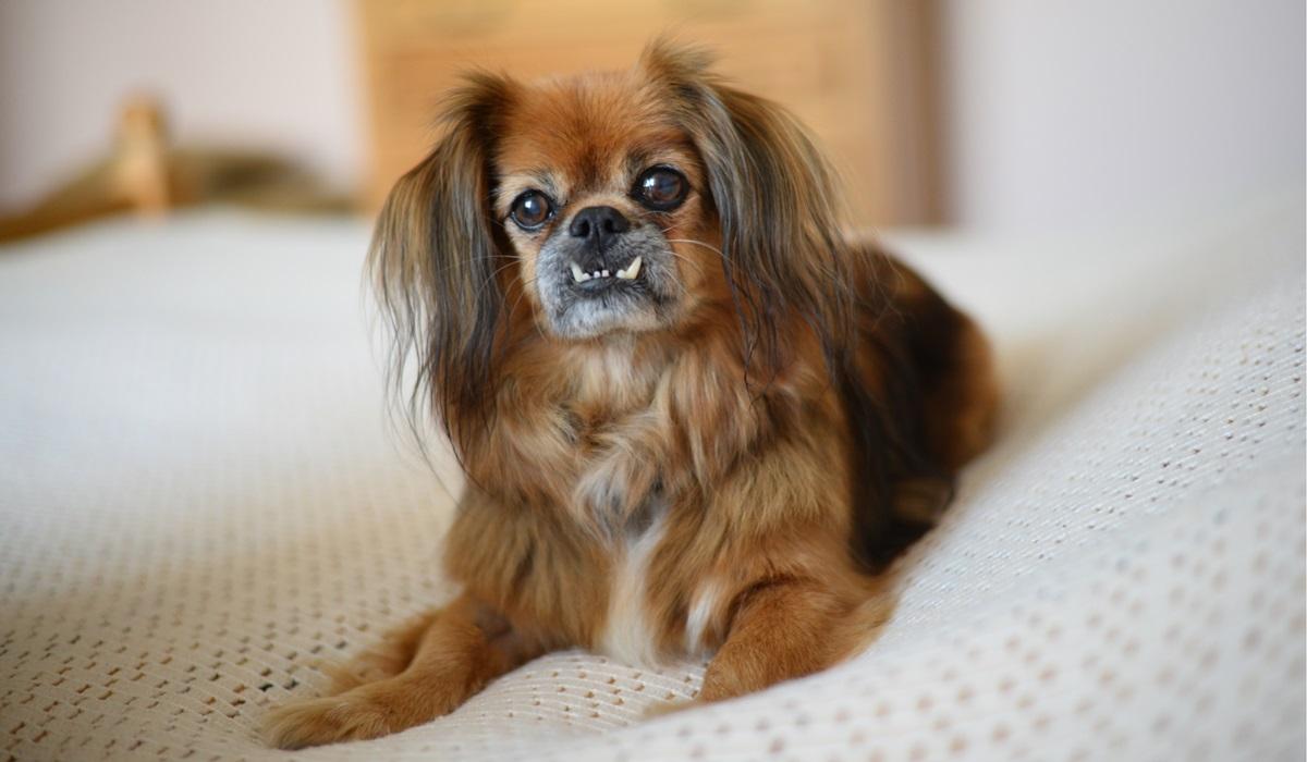cane con i denti fuori dalla bocca