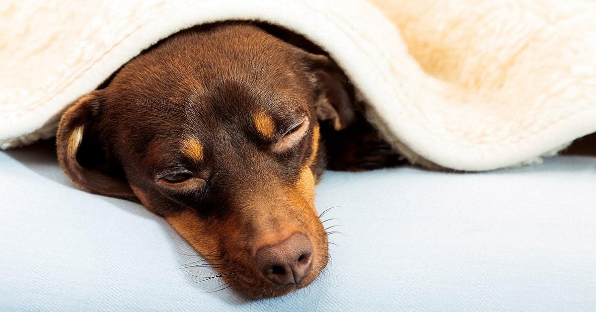 cane malato sotto le coperte