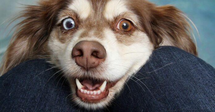 cane con gli occhi eterocromi