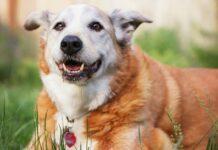 cane molto vecchio