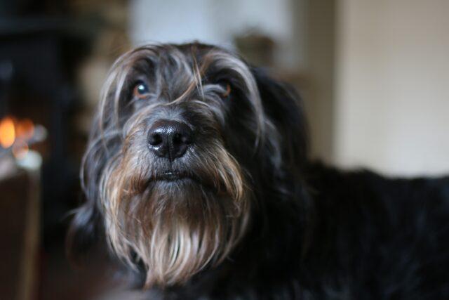 cane con la barba