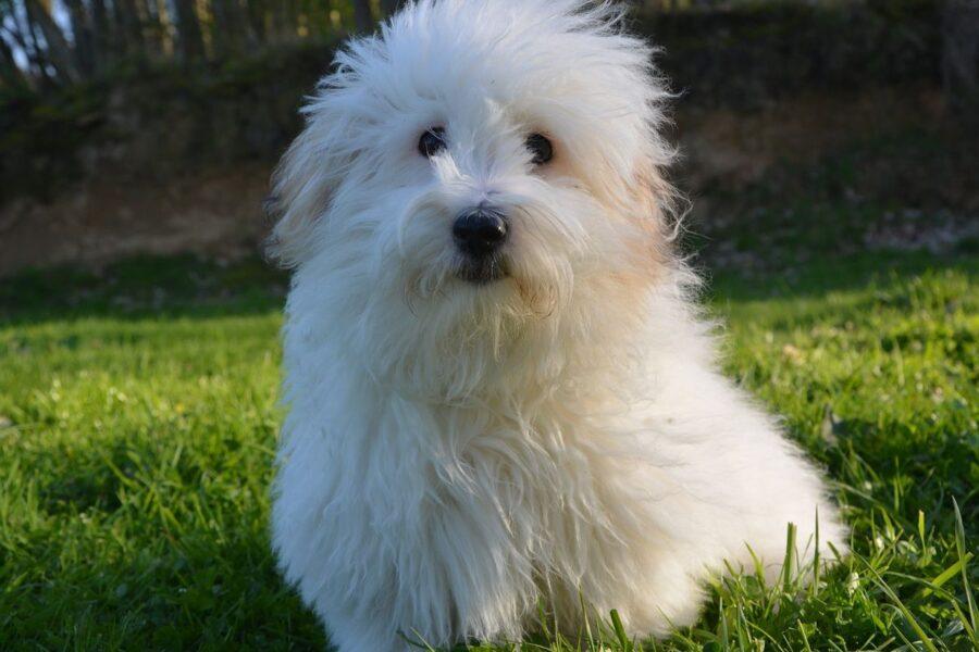 cane piccolo tutto bianco