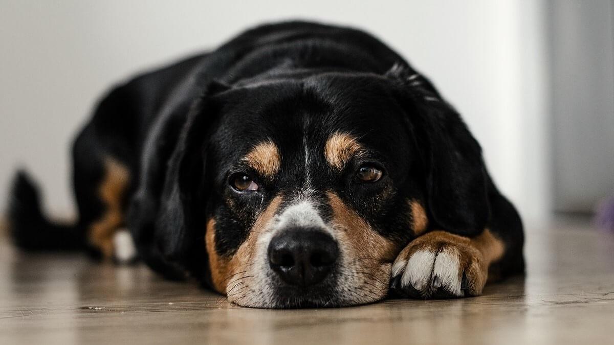 Trattamento del linfoma del cane: ecco come si agisce