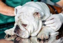 cane che sta male dal veterinario