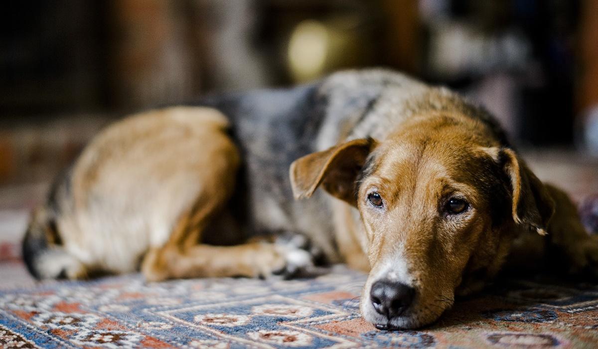Come trattare la sindrome di Cushing nel cane