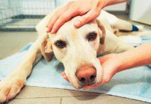 cane con dolori alla testa