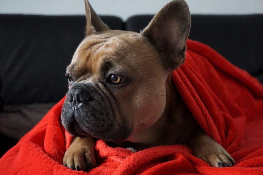 cane avvolto in una coperta rossa