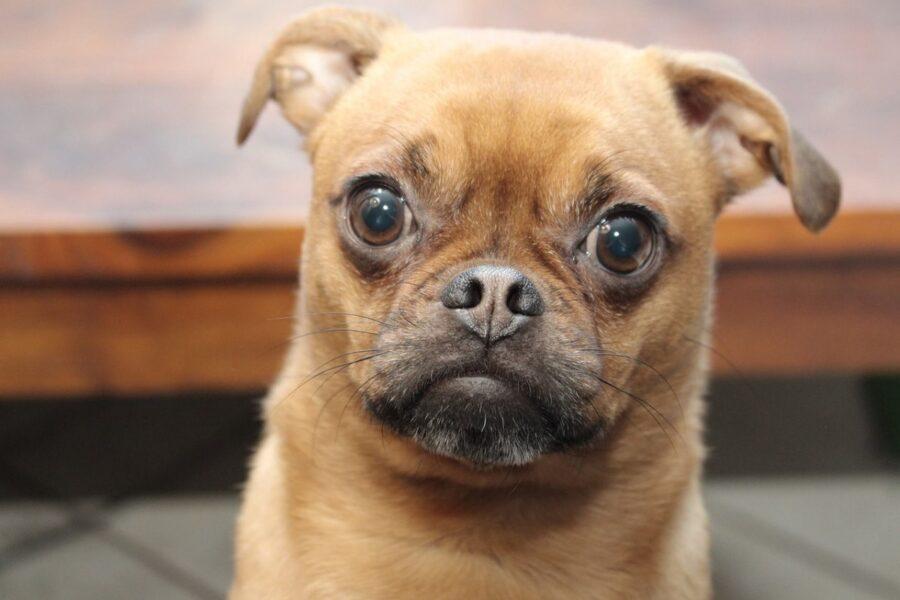 cane con il muso buffo