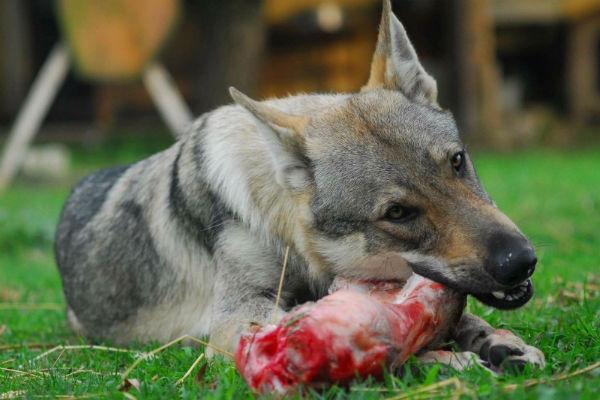 cane che mangia carne
