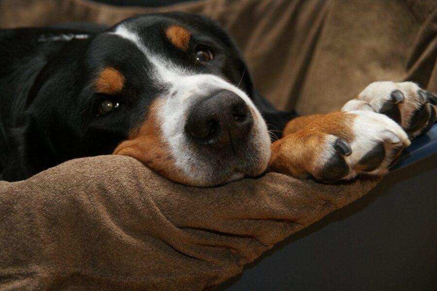 cane accoccolato tra le coperte