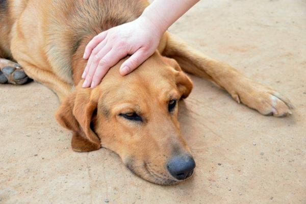 Tubercolosi nel cane: cause, sintomi, diagnosi e trattamento
