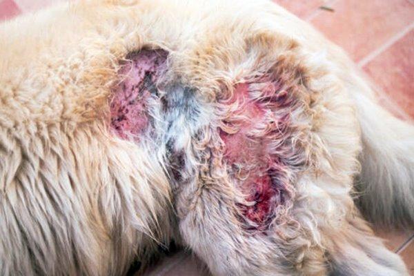 infezione fungina nel cane
