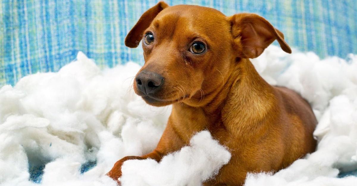 cane rompe i cuscini