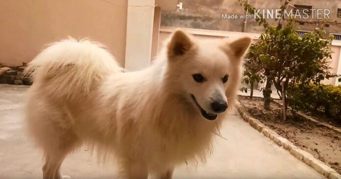 volpino bianco cane