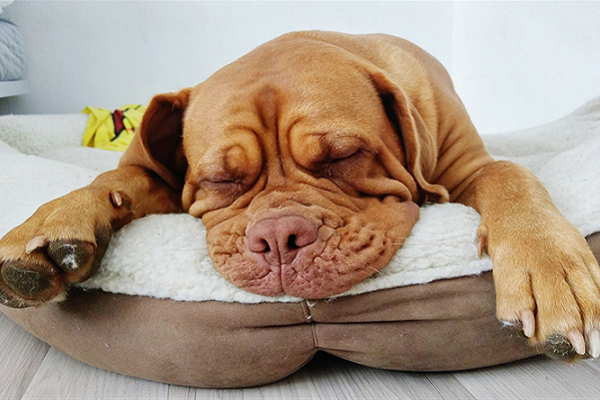 cane mastino che dorme
