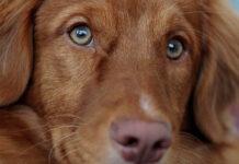 Coloboma dell'iride nel cane