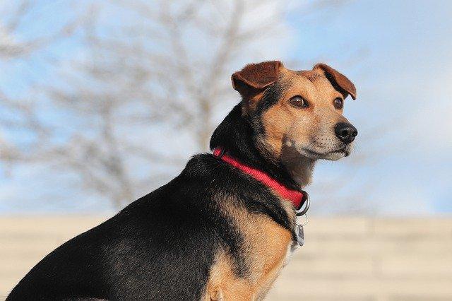 Coloboma dell'iride nel cane: cause, sintomi e trattamento