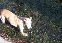 cane-bloccato-in-un-canale-di-scolo-viene-salvato-da-un-agente-di-polizia