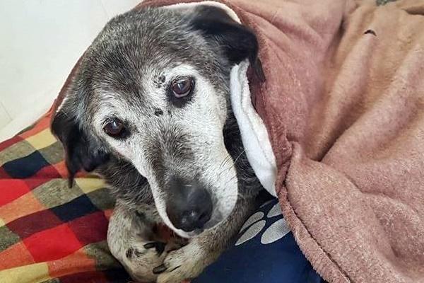 cane anziano che riposa sotto le coperte