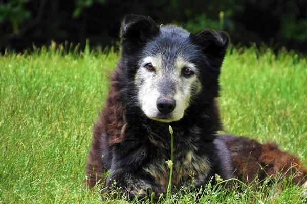 cane anziano disteso sul prato