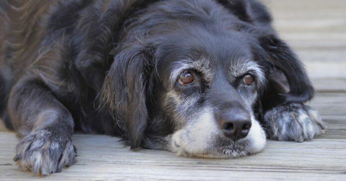 cane con il pelo ingrigito