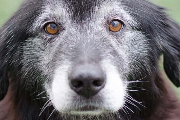 cane anziano con il pelo grigio