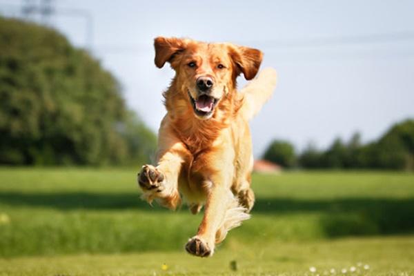 golden retriever che corre sul prato