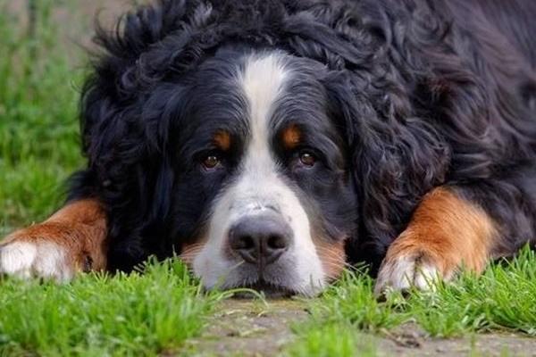 cane di taglia grande