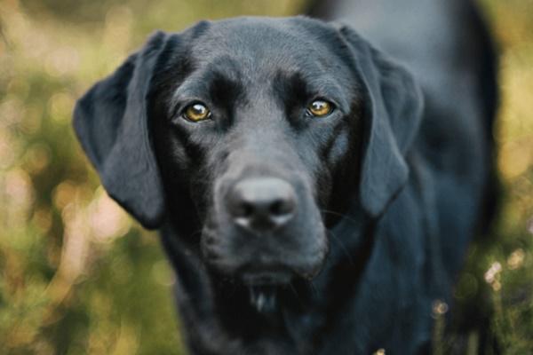 cane con il mantello nero