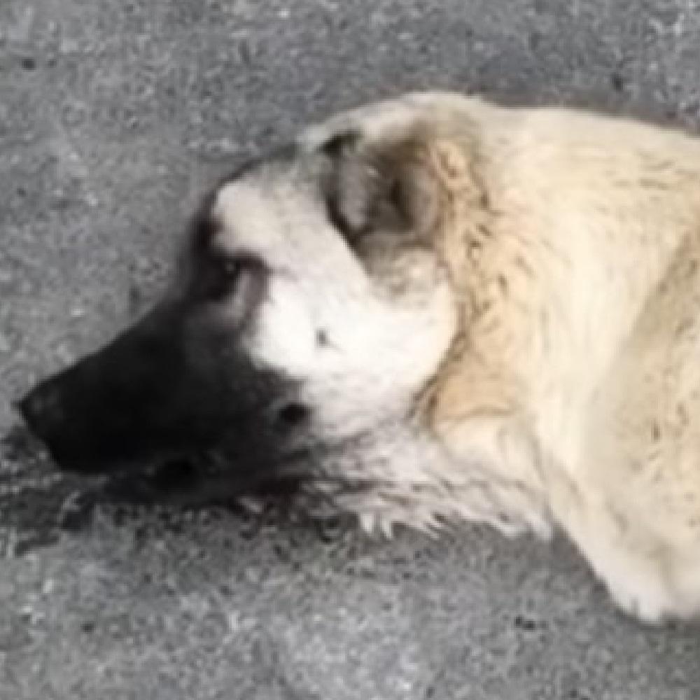 cane-incidente-asfalto