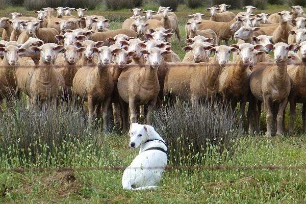 cane da bestiame