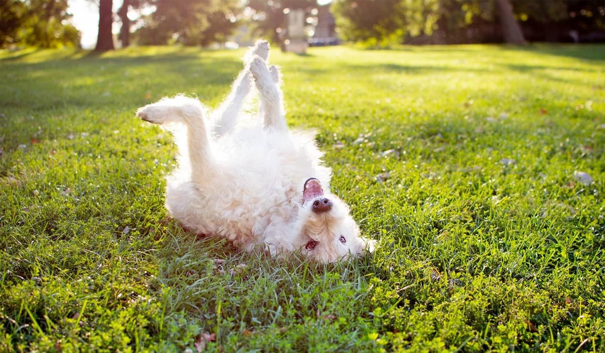 cane bianco rotola sull'erba